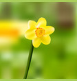 single yellow daffodil-narcissus blooming vector image