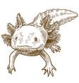 engraving antique of axolotl