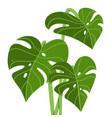 fresh green monstera leaves tropical vector image vector image