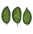 dieffenbachia tropical leaf set vector image vector image