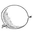 chigoe flea vintage vector image vector image