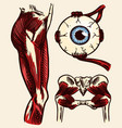 anatomy human thigh muscles eye and pelvis in vector image vector image