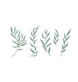 willow eucalyptus branches with leaves vector image