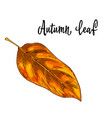 autumn yellow orange leaf isolated on white vector image vector image