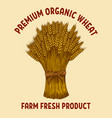 premium organic wheat sheaf wheat in vector image vector image