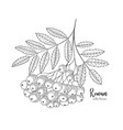 hand drawn rowan bunch berries vintage botanical vector image vector image