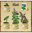 Stage of plant growth mint in a pot vector image