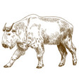 engraving drawing of golden takin vector image vector image