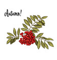 hand-drawn rowan branch with red berries vector image vector image