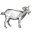 goat hand drawn realistic vector image vector image