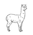 alpaca animal icon vector image