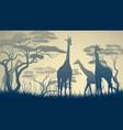 wild giraffes in african savanna vector image