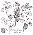 set of hand drawn strawberry plants for design vector image vector image