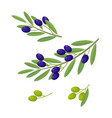 olive branches with olive fruits vector image