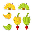 bunch of bananas with yellow and green vector image vector image