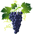 grape cartoons vector image
