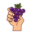 hand with grapes on white background vector image vector image