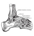 external view ankle joint vintage vector image vector image