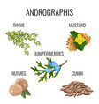 andrographis ayurvedic herbs poster thyme branch vector image