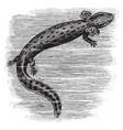 common mudpuppy vintage vector image vector image