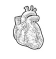 anatomical human heart sketch vector image