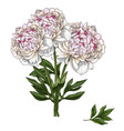 hand drawn bouquet of gently pink peony flowers vector image vector image