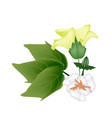 Fresh Yellow Cotton Flower with Bud on Branch vector image
