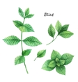 Watercolor branches and leaves of mint vector image