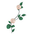 exotic roses plant with branches leaves vector image vector image