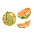 watercolor melon cantaloupe vector image