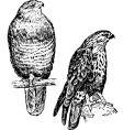 bird buteo vector image