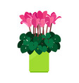 cyclamen house plant vector image