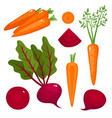 bright of beetroot carrot vector image