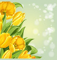 yellow tulips on white background vector image vector image
