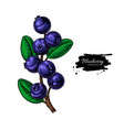 blueberry drawing isolated berry branch o vector image vector image