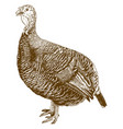 engraving of turkey bird vector image vector image