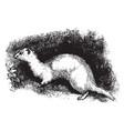ferret vintage vector image