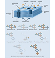 membrane structure vector image