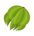 bunch of green banana vector image