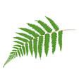 fern tropical leaves botanical element for vector image