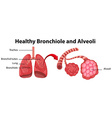 Diagram showing healthy bronchiole and alveoli vector image