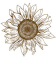 engraving drawing of big sunflower vector image