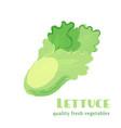 fresh lettuce isolated on white background vector image