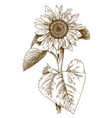 engraving of sunflower vector image vector image