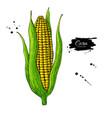 corn cob hand drawn vector image vector image