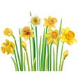yellow daffodils on a white background vector image vector image