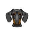 funny cartoon dachshund dog head vector image