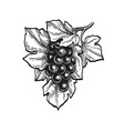 ink sketch of grapes vector image vector image
