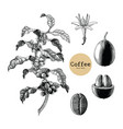 coffee branchcoffee flowercoffee bean hand vector image vector image