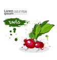 radis hand drawn watercolor vegetables on white vector image vector image